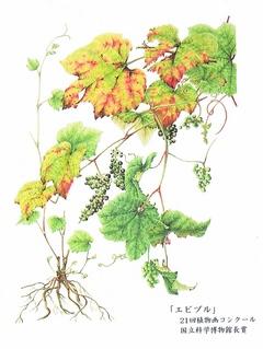 伊藤寿美枝 植物画展 画像1