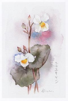 淡彩 花のスケッチ展 Kuの会 画像1